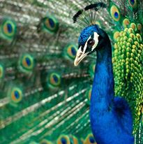Close-up Peacock