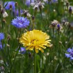 Yellow flower with blue flowers outside